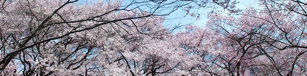 桜満開の御幣公園